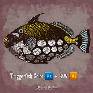 Vector art of Clown Triggerfish color and black and white illustrations.