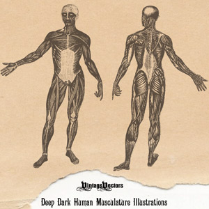 Vector art of Vintage medical illustration vector of the human figure showing muscles, musculature.