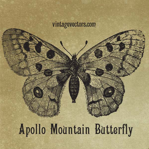 Vector art of Apollo Mountain Butterfly