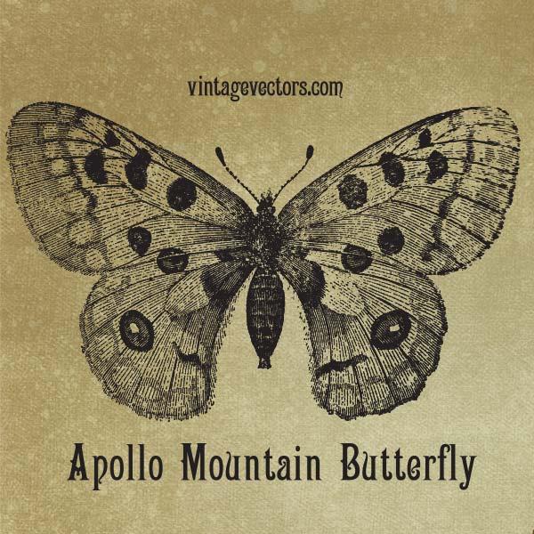 Vector art of Apollo Mountain Butterfly